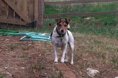 """Vores elskede lille """"Greta"""" Little Denmark's Berta The Adventurer boede I Evergreen Colorado. Hendes ene datter """"Ginger"""" bor stadig hos familien. Den anden datter, """"Sussi"""" bor her hos os I Danmark"""